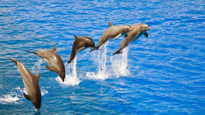 Delfiny organizują gangi, by walczyć o samice. Nieznane oblicze morskich ssaków