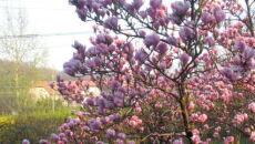 W Polsce zakwitły magnolie