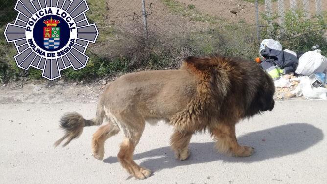 """""""Otrzymaliśmy wiele zgłoszeń ostrzegających o lwie"""". Okazało się, że to pies"""