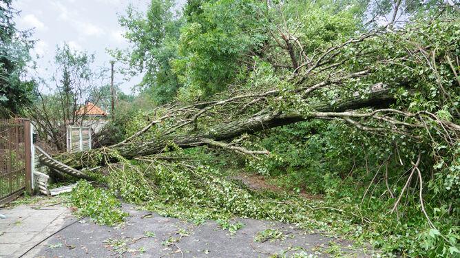 Dlaczego podczas burz łamią się drzewa <br />i jak temu zapobiec?