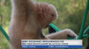 W zoo we Wrocławiu urodził się gibon
